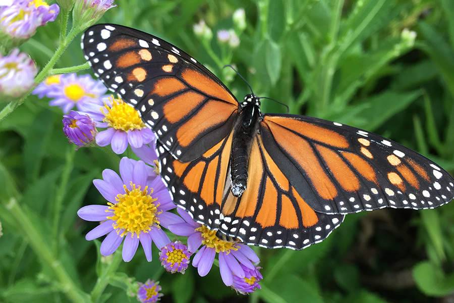 Monarch butterflies face uncertain future as habitat changes and threats increase