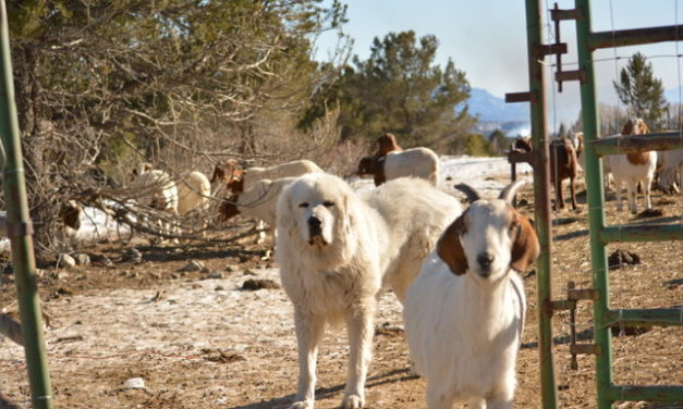 Is Chaffee County Harassing Farmers with Working Dogs?