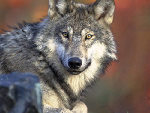 Update: Wolves get the go-ahead under Proposition 114