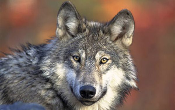 CPW Commission holds Wednesday, Feb. 24 workshop to discuss wolf introduction meetings moving forward
