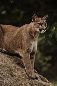 U.S. District Judge Orders Halt to Mountain Lion and Black Bear Culling Program