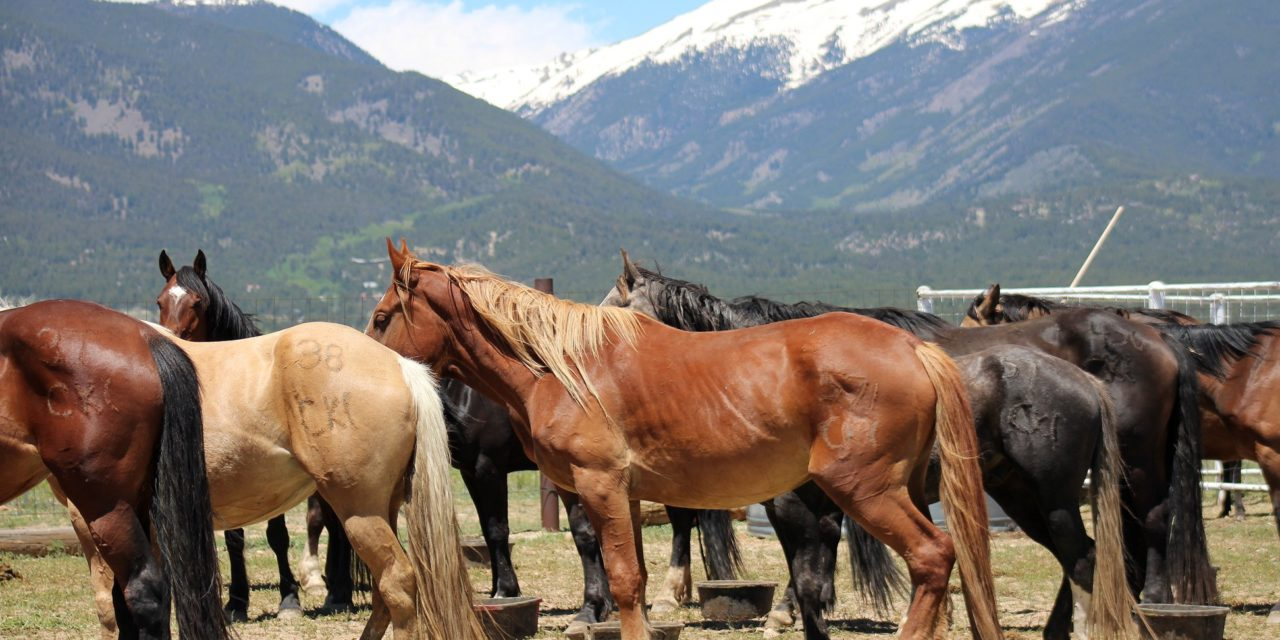 Not Their First Rodeo – Collegiate Peaks Stampede Rodeo Celebrates 100 Years in Buena Vista