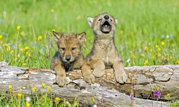 Three Wolf Pups Confirmed in Colorado, CPW Moves Forward with Phase One of Reintroduction