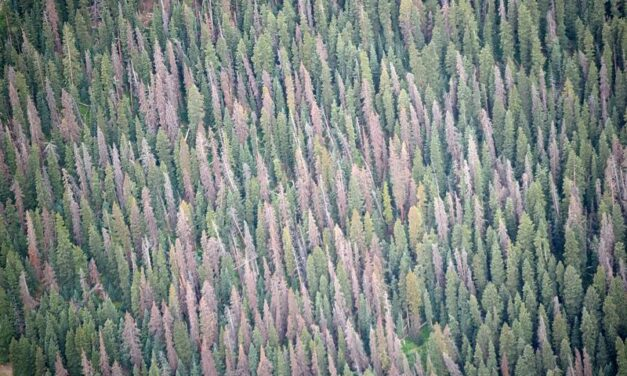 Beetle Kill Efforts So Far Dubbed A Success on Monarch Pass